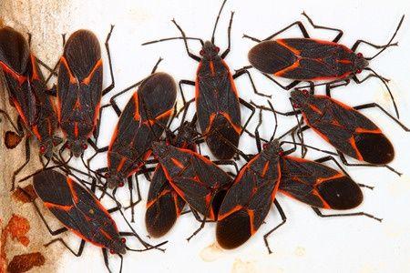 box elder beetle removal