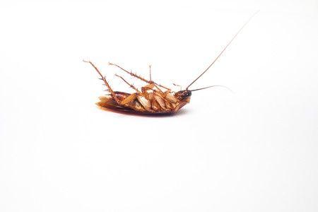 kill cockroaches dead bug