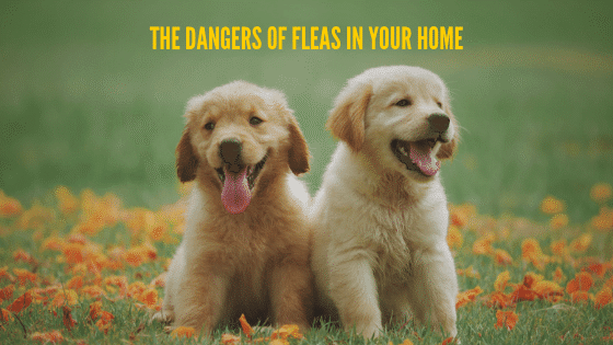 The Dangers of Fleas in Your Home